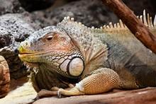 Iguana Lizard Face Close Up