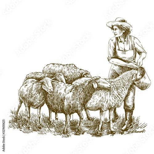 Obraz Female farmer feeds the sheep. sketch on a white background. animal husbandry - fototapety do salonu