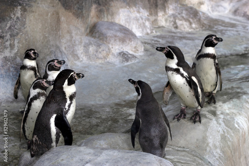 Group of Galapagos penguins in the zoo's enclosure Wallpaper Mural