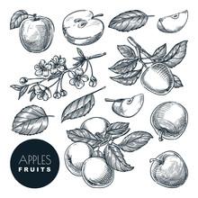 Apple Sketch Vector Illustrati...
