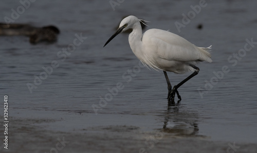aigrette garzette Canvas Print