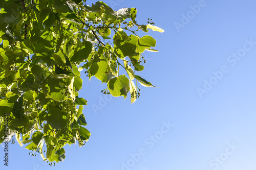 Linden blossom, green branch with green buds