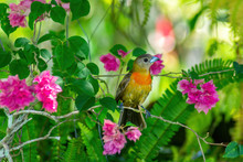 Cherries Tanager Female Perche...