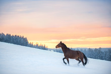 A Westphalian Horse Walks Thro...