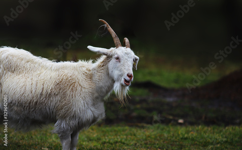 Photo A bleating white goat with horns curved in different directions.