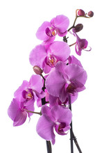 Purple Orchid Flowers With Wat...