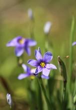 Blue-Eyed Grass (Sisyrinchium ...