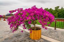 Pink Bougainvillea Flowers Blo...
