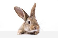 Gray Fluffy Rabbit Looking At ...
