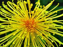 Japanese Chrysanthemum Of Vari...