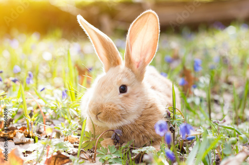 a glade of blue spring flowers with a little fluffy red rabbit, an Easter bunny, a hare on a meadow - 329660459