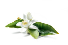 Orange Blossom Isolated On Whi...