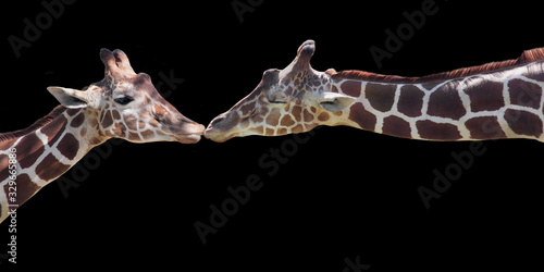 Two Giraffes Kissing Isolated on Black Wallpaper Mural