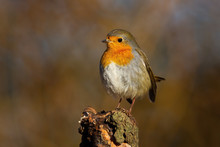 Tiny European Robin, Erithacus Rubecula, Looking From A Perching Point In Spring Forest. Attentive Wild Animal At Sunrise. Songbird With Orange Breast Feathers With Copy Space