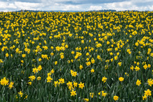 Field Of Bright Yellow Daffodils In Full Bloom, As A Nature Background