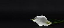 Calla Lily Isolated On Black Background
