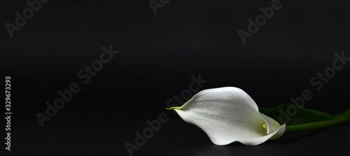 Stampa su Tela Calla lily isolated on black background
