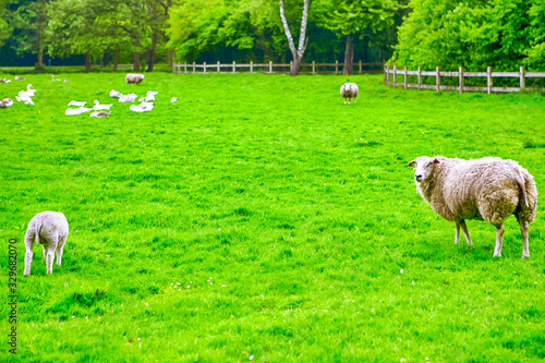 Domestic Sheep and Birds Pasturing Together in Park Area. Wallpaper Mural