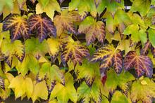 Reddened Leaves Of Wild Grapes...