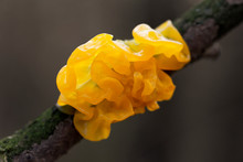 Mushroom Tremella Mesenterica (yellow Brain, Golden Jelly Fungus, Yellow Trembler, Witches' Butter) Growing On A Tree Branch, Close-up, Macro Shot With Blurry Background.