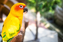 Bright, Red-yellow Parrot Sun Conure. Exotic Colored Bird Parrot, Close-up Face. Natural Background. Copy Space