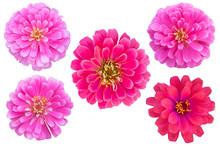 Pink Color Chrysanthemums As B...