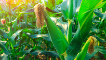 Fresh Green Baby Corn