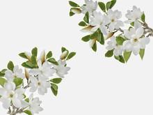 Beautiful White Magnolia Flowe...