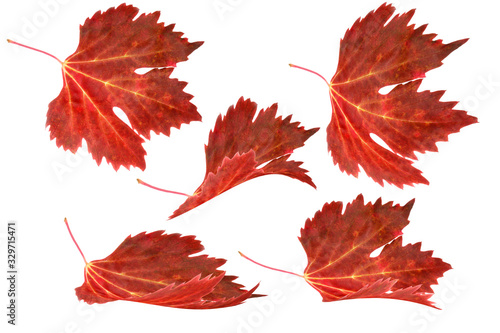 Fényképezés Red grape leaves are deformed and isolated on white background