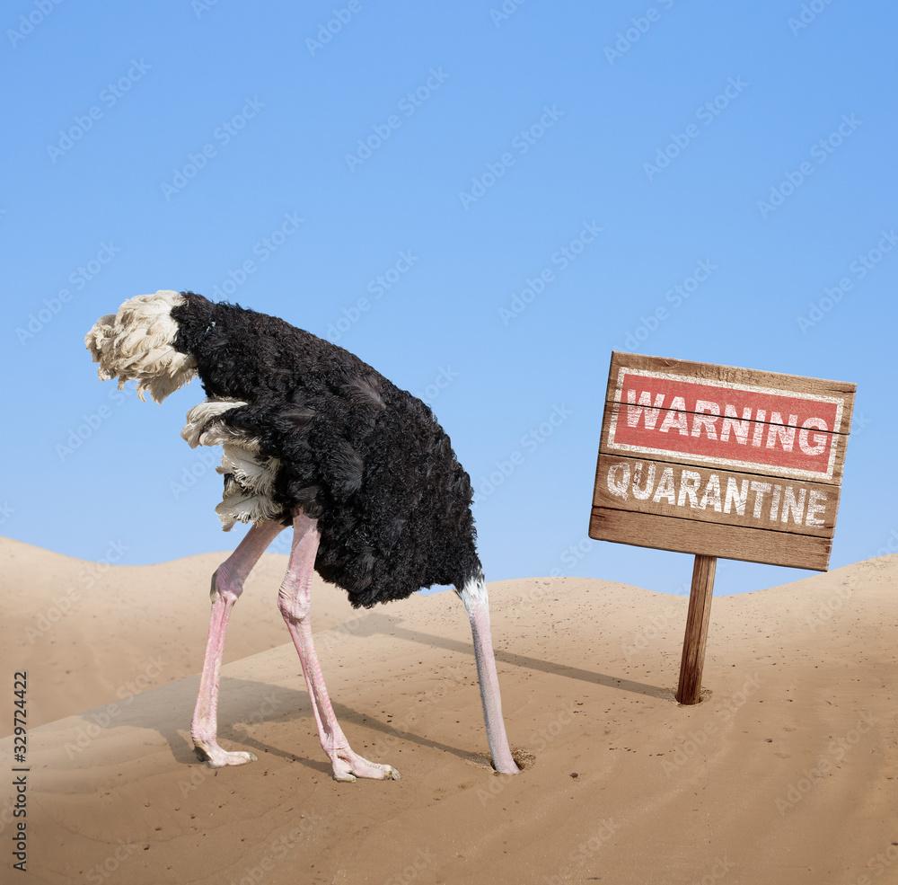 Fototapeta scared ostrich with head in sand near warning quarantine wooden signboard.