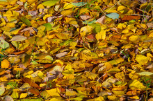 Colorful Autumn Leaves Of Birc...