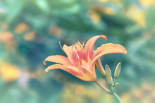 Beautiful Orange Lily Flower S...