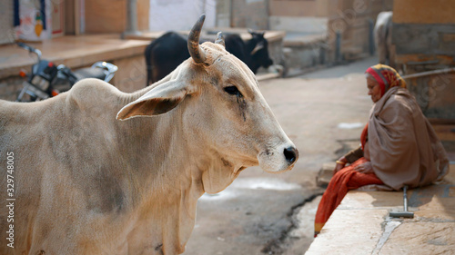 Foto Jaisalmer India, January 5, 2020: A sacred cow walks along an old street in the fort