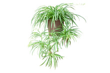 Spider Plant On Chlorophytum Comosum In Brown Pot Isolated On White Background Included Clipping Path.