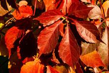 Red Autumn Leaves Genus Quinqu...