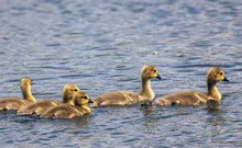Group Of Goslings Derbyshire E...