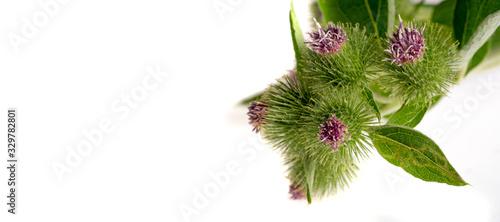 Foto burdock Folk herbalists considered dried burdock to be a diuretic diaphoretic an