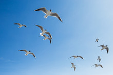 Many Hungry Seagulls Flying In Sunny Clear Blue Sky Overhead.