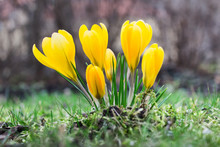 Close Up Of Yellow Crocus Flow...