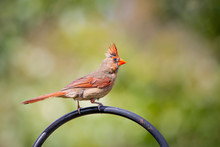 Perched Female Cardinal Bird On A Green Blurred Background