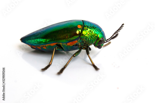 Tablou Canvas buprestis beetle buautiful shiny jawel bug  on  white background, green beetle n