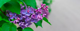 Fresh pink and purple lilac branch macro, copyspace, selective focus, toned, banner