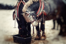 Two Horses With Ornate Harness...
