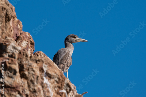 Photo Immature Yellow-crowned Night-heron on the rocky shore in Baja