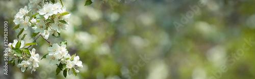 Obraz na plátně Horizontal spring banner with flowers of apple on blurred background