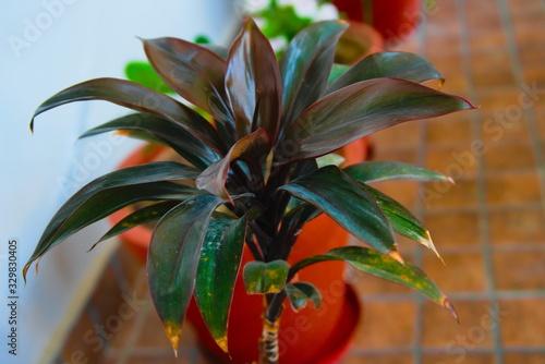Fényképezés A Cornstalk dracaena plant pot.