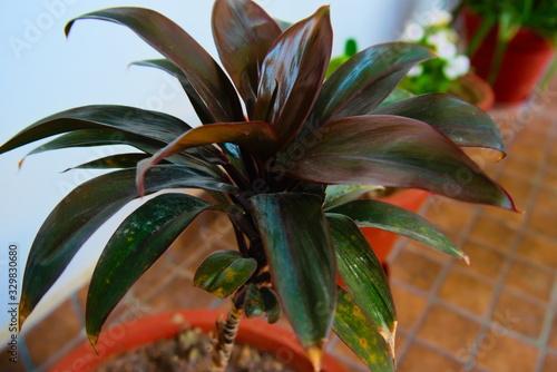 A Cornstalk dracaena plant pot. Tapéta, Fotótapéta