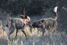 Two African Wild Dogs Fighting Each Other In Chobe National Park, Botswana