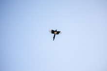 Black-billed Magpie Flying In The Sky