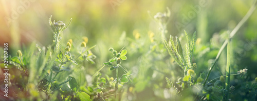 Fototapeta Clover and fresh grass in spring, beautiful nature in meadow obraz